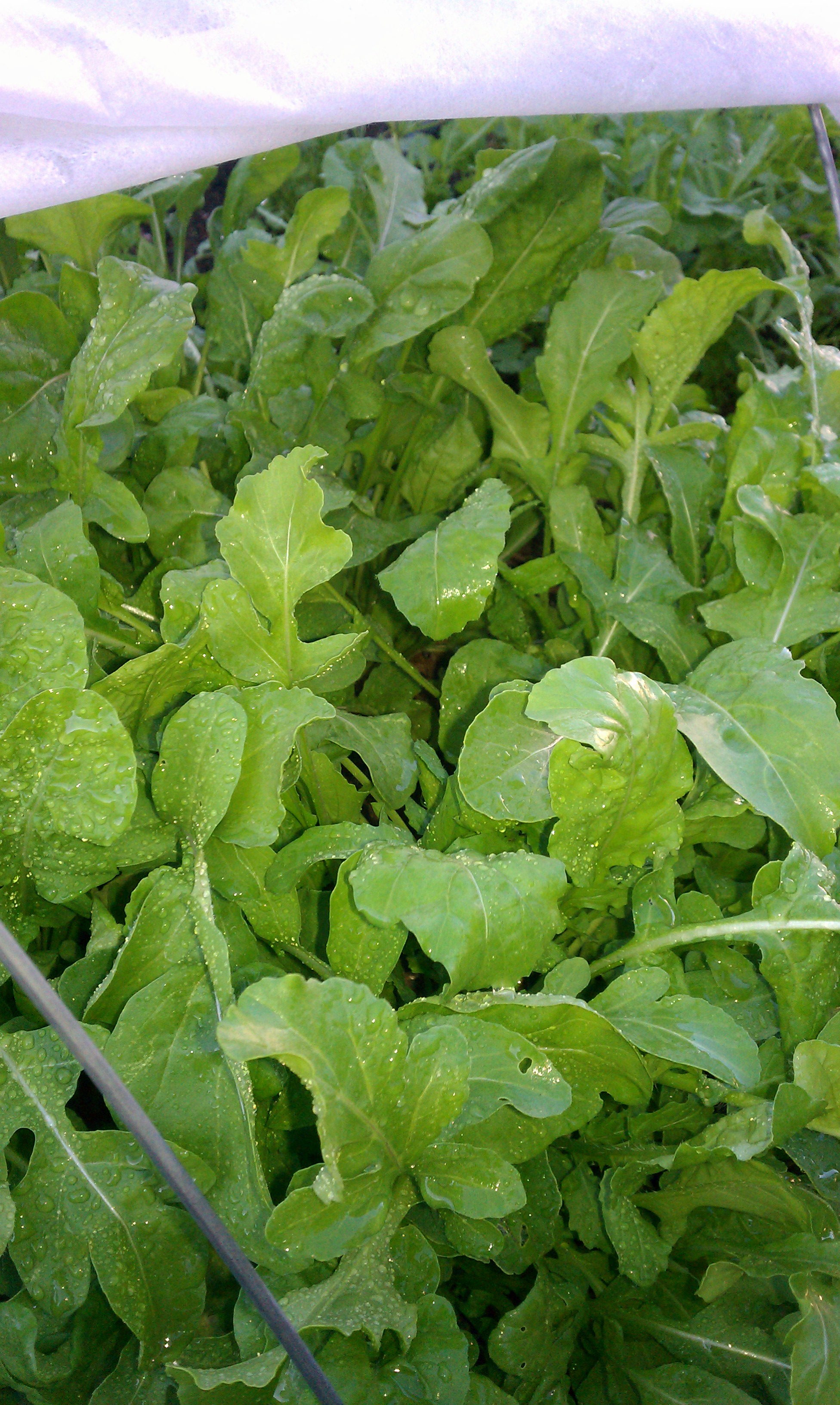 Is it possible to grow arugula at home on the window