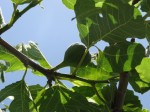 Figs are just coming on.  I can't wait