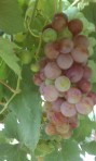 Red Flame Grapes just about ready!