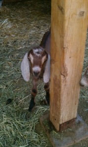 12 hour old baby Nubian Goat