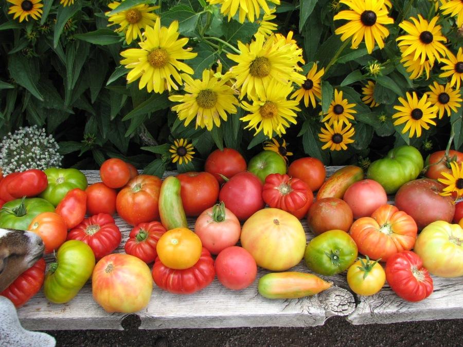Pruning Heirloom Tomatoes