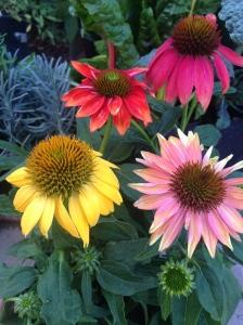 Cheyenne Spirit Echinacea Flowers
