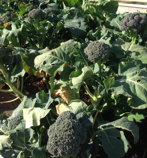 Growing Broccoli through the winter months