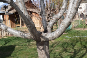 15 Year old Peach Tree Pruned to Open Center