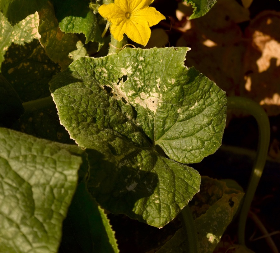 Cucumber Beetle damage to leaves