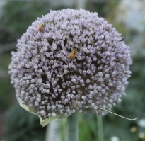 Alliums are beautiful bee friendly flowers!