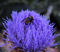 Artichoke flowering attracts the humble bumble.