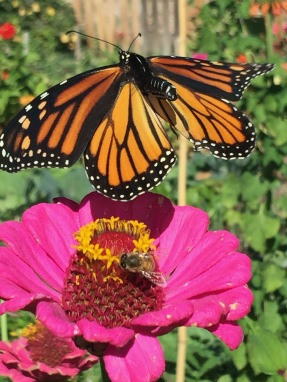 Zinnia flowers are great for pollinators including bees and butterflies!